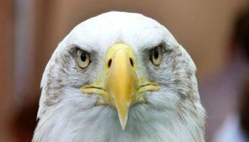 Американский правительственный беспилотник был уничтожен белоголовым орланом
